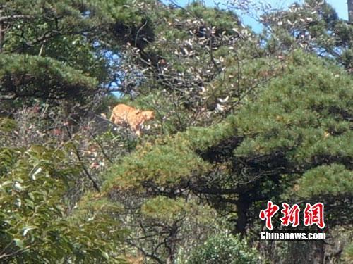 游客拍摄到的疑似为老虎的动物。(图片由三清山管委会提供,作 者:鲍曙光)