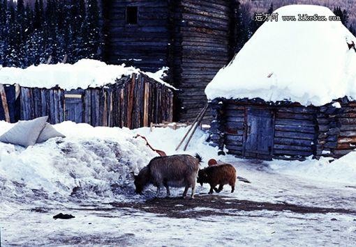 喀纳斯安宁的冬日 摄影:小菜伊碟