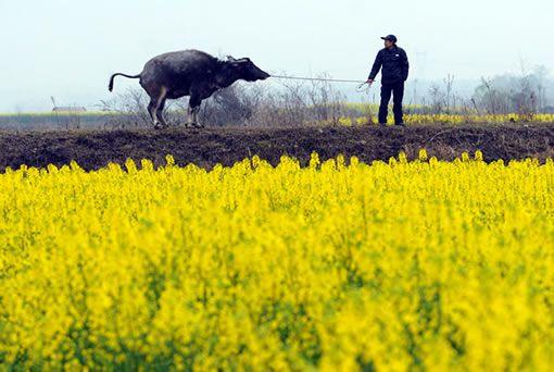 走过花田的耕牛 摄影:魏尧