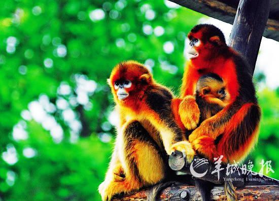 金丝猴一家温馨在一起