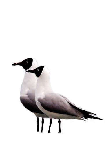 两只在青海湖栖息的鱼鸥