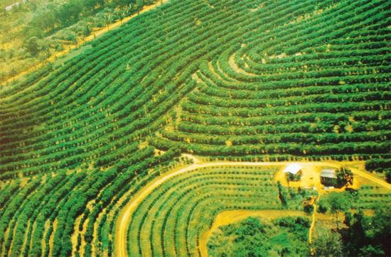 巴西:世界最大的咖啡生产国