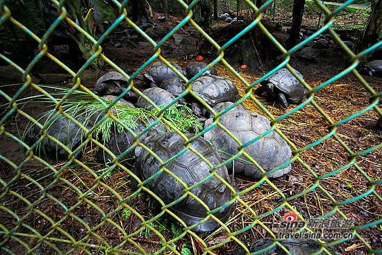 在马埃岛上生活的象龟
