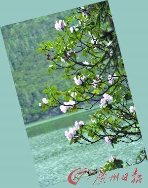 树上开满了花,给属都湖平添一抹艳色