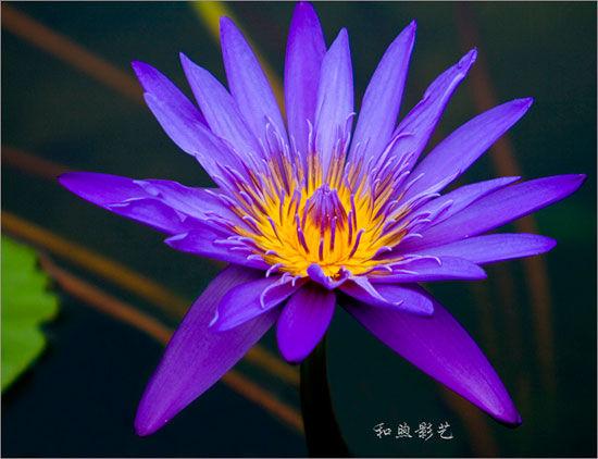 闹中取静之紫色睡莲