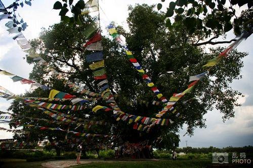 蓝毗尼园内,挂面经幡的娑罗树