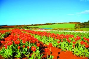 春天的澳大利亚开满了鲜花