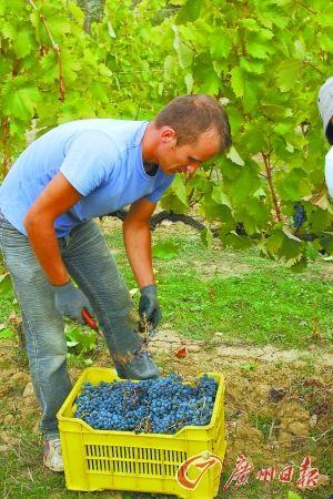 葡萄园收获的季节