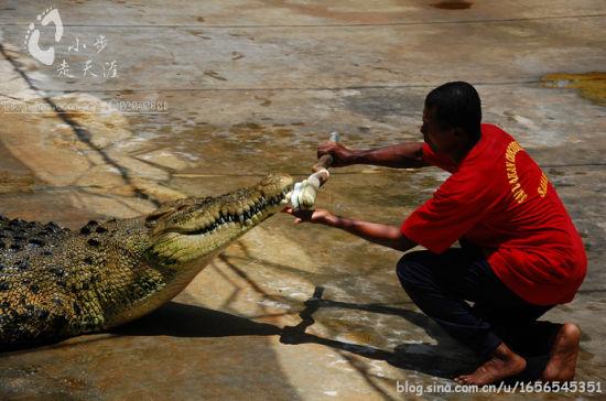给鳄鱼刷牙