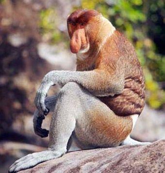 盘点自然界最丑动物 长鼻猴的警报扩音器