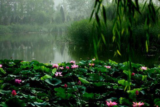莲蓬铺满湖面成别样风景