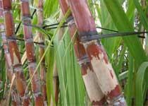甘蔗 图片来源:新浪旅游
