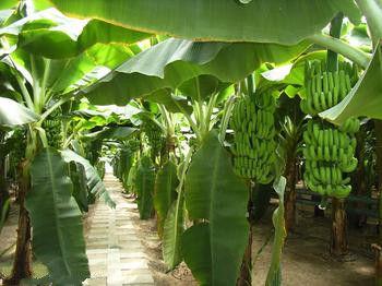 涠洲岛盛产的试管蕉 图片来源:小白 新浪博客