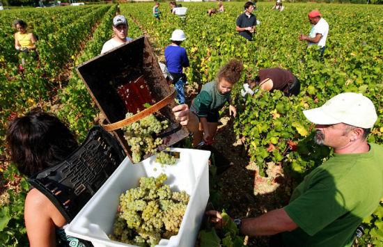 法国的九月,工人们在波尔多附近的布里翁庄园收获葡萄