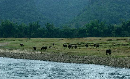 漓江岸上的牛群