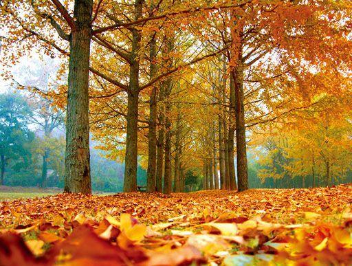 【推荐地】诸暨五泄   【推荐理由】   秋到诸暨五泄,有一股浓墨重彩的黄萦绕游线始终。一路上落叶树林渐渐变黄,那经霜的枫林和乌桕林,像火般的闪烁。最为震撼的黄,在景区电瓶车停车场到寺院前的广场上,这是一条黄金大道,路的两侧都栽满了银杏。   黄透了的银杏叶飘满了枝头、堆满了地面,铺就了一条松软的路,踩上去沙沙作响。一阵轻风吹过,叶子阵阵飘落,反射着阳光,宛若金色的蝴蝶。而隐在林中的各种建筑物,那粉墙黛瓦,在秋林中更显精巧玲珑;尤其是寺庙的殿宇和亭台楼阁更展其壮美,构成了秋山萧寺的美丽画卷。景区周
