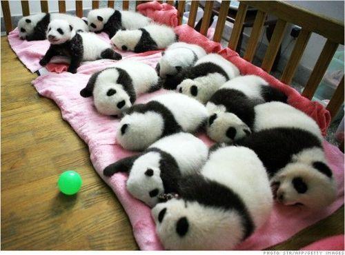 """而且,""""竹子荒""""也是大熊猫饲养者会面临的一个威胁:几年前,在华盛顿"""