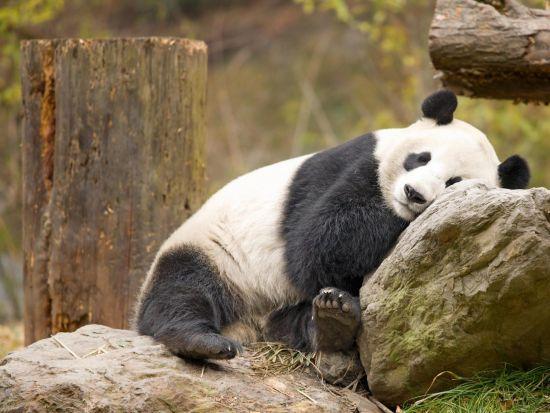 世界自然基金会最近一次统计是2004年,该统计数字显示世界共有1600只野生大熊猫,受到人文关怀生活在动物园或者饲养中心的大熊猫有约350只,其中有50只左右不在中国。   中国保留着全世界大熊猫的所有权,中国会将大熊猫有选择性的借给他国,一对大熊猫租借一年的费用通常是100万美元,所得资金会用于中国的大熊猫保护工作。一般租期为10年,到期可选择续租。