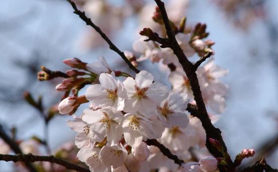 近看樱花美