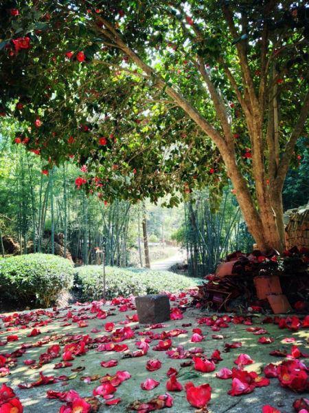 茶花树下落英满地