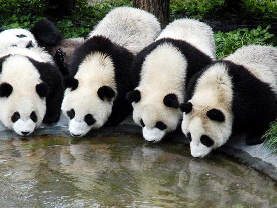 """独家:大熊猫""""金宝宝""""""""华豹""""旅居芬兰纪实 第一晚睡得很香"""