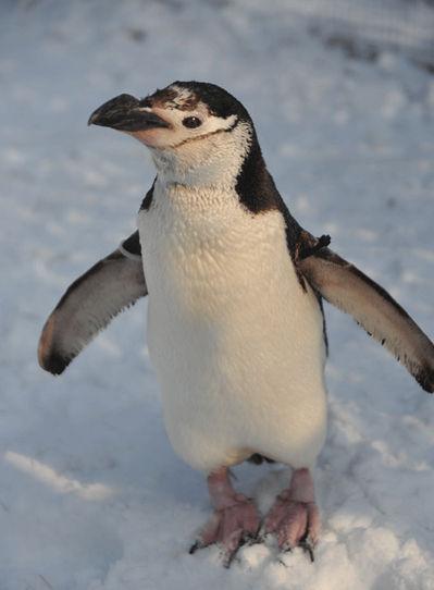 壁纸 动物 企鹅 399_542 竖版 竖屏 手机
