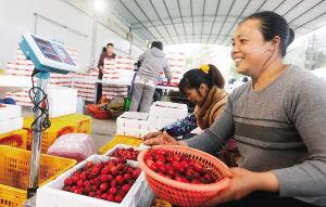 海南省陵水黎族自治县光坡镇武山村一处圣女果收购点,工人正在挑选圣女果打包外销。 宋国强 摄