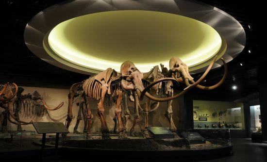 猛犸象化石