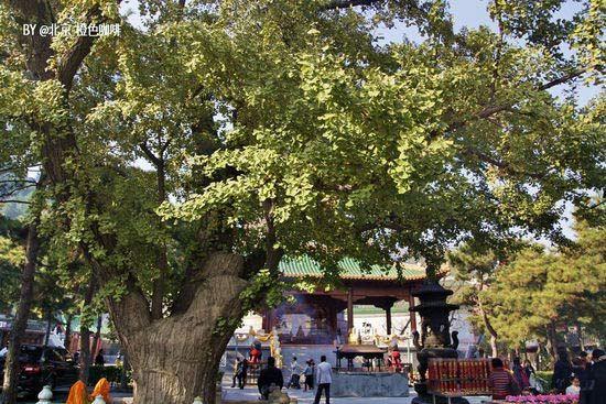 寻访北京八大处古银杏树(组图)