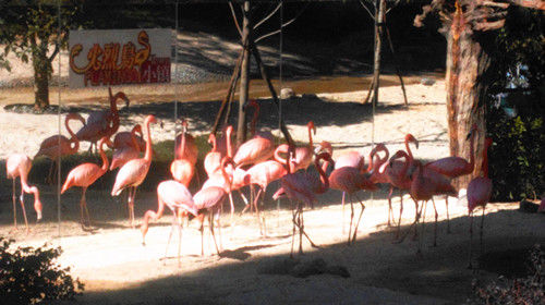 云南野生动物园再添新景 火烈鸟照镜子爱臭美