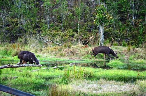这是在普洱太阳河国家公园区域仅存不到30头的国家二级保护野生动物—