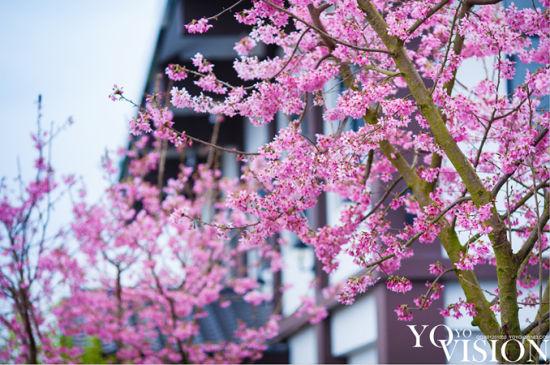 @熊纠纠722 拍摄的樱花园