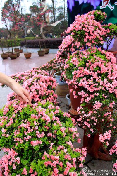 而杜鹃中的丹东杜鹃,平时很难在西南地区看到,如今它正在植物园中以花