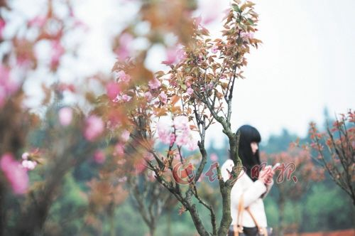 省植物园 樱花园的樱花即将开放。