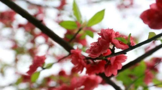 榕湖的桃花 图:两江四湖景区