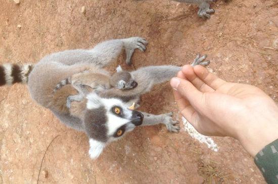 狐猴喜获三连胎   几天来,云南野生动物园珍稀动物区的环尾狐猴陆续生产,已经有三只环尾狐猴当上了妈妈,它们各自产下一只小宝宝。有趣的是,刚出生的环尾狐猴宝宝的身体还没有人的手掌大,拖着一条和身体比例失调的长尾巴待在妈妈的怀里。这种袖珍的动物宝宝成为云南野生动物园春天最亮丽的风景,引得游客纷纷驻足围观。   据了解,三只环尾狐猴分别是3月13日、3月14日、3月16日出生的,身体仅有手掌大,毛茸茸的还不会走路,健康状况良好,主要由环尾狐猴自己喂养。饲养员邱树妹说:昨天出生的环尾狐猴仅在妈妈怀里待了