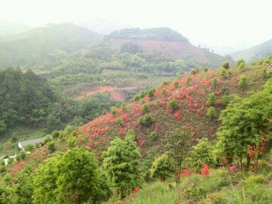 """在悬崖峭壁,青山绿树间绽放出片片红霞,呈现出一幅""""杜鹃花似海,满山留"""