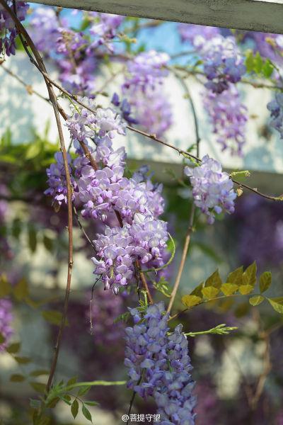 颜值爆表细数福建紫藤花盛开的地方