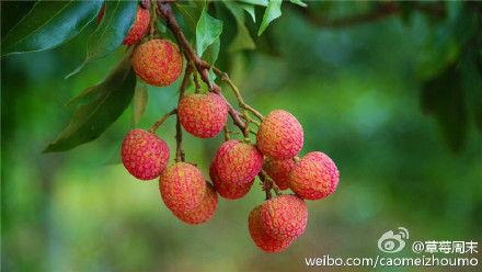树上鲜红的荔枝 作者:草莓周末 图片来源:新浪微博