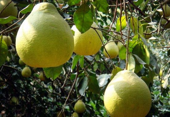 每到成熟的季节,沙田柚挂满枝头 图:新浪博主/雨露春风
