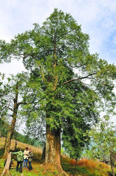 11月3日,东安县舜皇山国家森林公园塘家工区,发现一棵树龄达1300多年的红豆杉。这是该县迄今发现的树径最大、树龄最长的南方红豆杉。 唐明登 摄