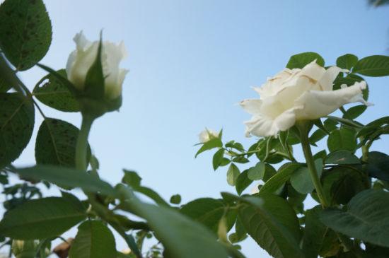 你是我心中的白玫瑰(摄影by劭龙零度)