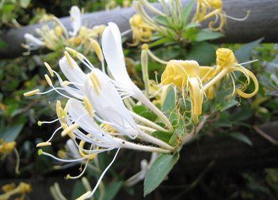 巴马长寿乡的特产:金银花(图)(10)