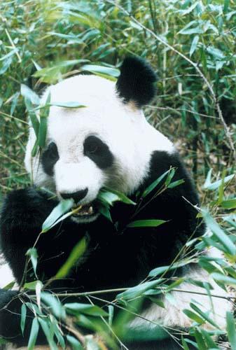 """被指""""虐待""""大熊猫 深圳野生动物园喊冤(图)"""