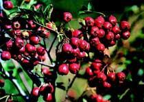 泰山红玉杏