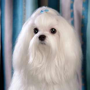 马耳他小精灵:马尔济斯犬