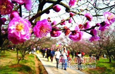 每年冬末春初,南京梅花山上万株梅花竞相开放,游人纷至沓来。