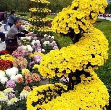 植物园内的百种菊花