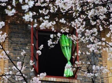 宿舍窗边看樱花