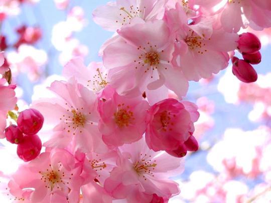 日本樱花树下拉住爱人的手